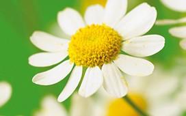 Program zdravlja u bijelo žutim cvijetićima