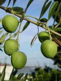 Kako uzgajati masline